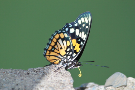 long tongue: Colorful butterfly  with long yellow tongue and orange wings sits on grey rock. Stock Photo