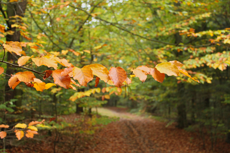 Branch with yellow brown leaves. At the background forest with path during autumn season.