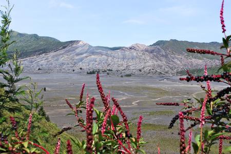 Active Bromo Vulcano-Tengger-Semeru National Park with pink wild flowers Stock Photo