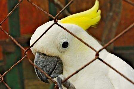 Single white cockatoo parrot with yellow feathers.