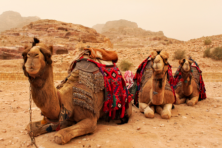 Three camels sitting on the ground in Petra in Jordan,