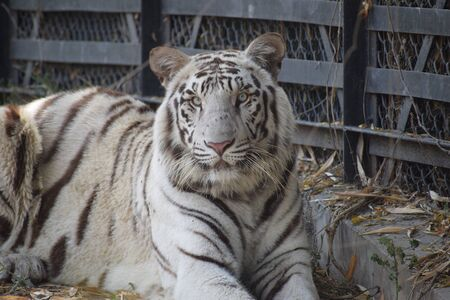 Beautiful white tiger Standard-Bild