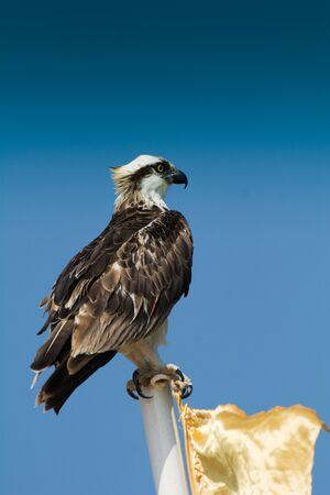 Predators (Accipitriformes) are an order of birds. The order includes about 225 species of birds adapted for hunting live prey.