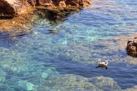 swimming bird: Bird swimming in the sea in Gerona Stock Photo