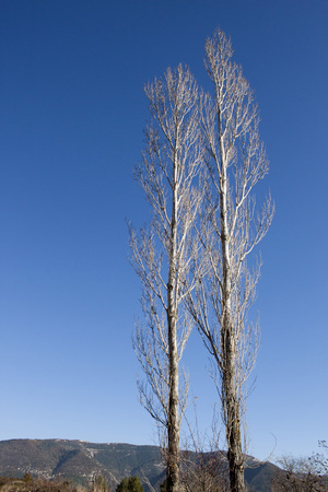 is cloudless: Two tress with a cloudless sky