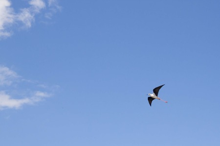 is cloudless: white stork flying relaxed over a cloudless sky feeling freedom
