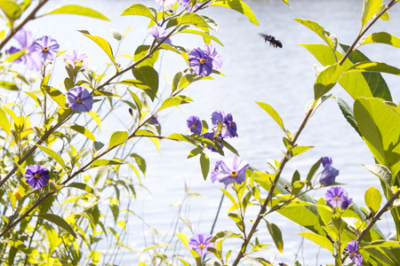 gentian flower: bee flying over some violets in a park in summer