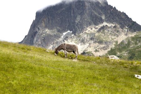 mountainside: donkey grazing in a mountainside in summer in Pyrenees, France