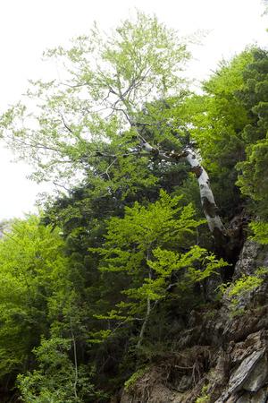 arbol alamo: Poplar tree in a mountainside in the middle of a forest Foto de archivo