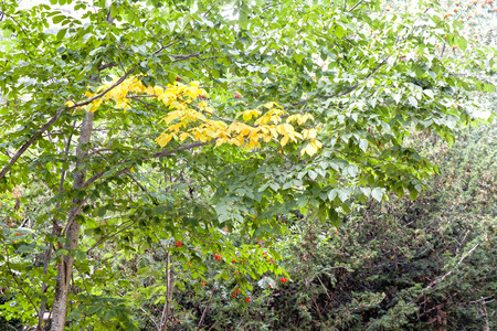 oxygene: Yellow and green leaves in the branches of a beech tree Stock Photo