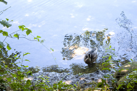 duck swimming in a lake in a sunny day