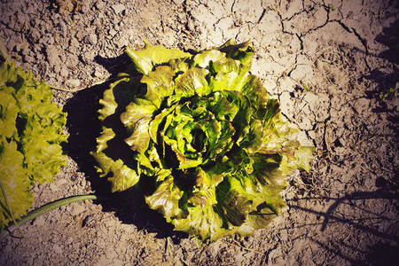 green lettuce in a vegetable garden in a sunny day in a dry land