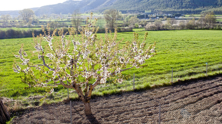 cherry tree in the midle of a field in a village in Pyrenees, Spain 스톡 콘텐츠