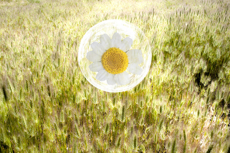 daisy flower in a bubble over a wheat field 스톡 콘텐츠