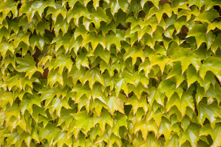 texture of the ivy in a wall in spring