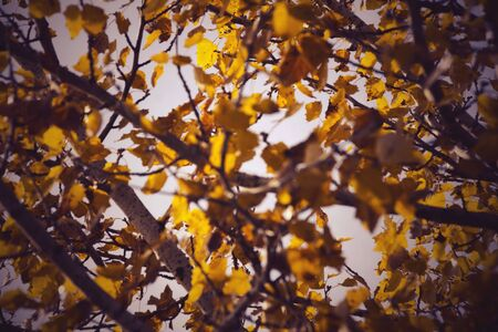 background of branches and leaves of a black poplar