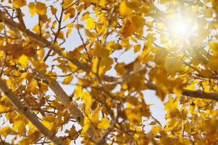 background of branches and leaves of a black poplar with sun