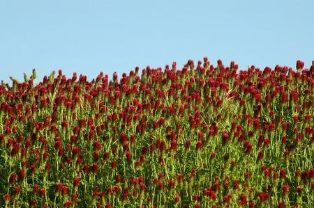 Crimson Clover Blooming Against a Clear Blue Sky