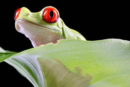 Red Eyed Tree Frog,  Agalychnis Callidryas, on a Leaf with Black Background 写真素材