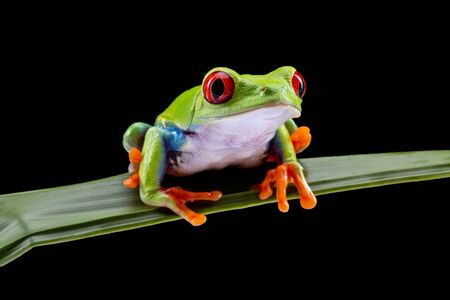 Red Eyed Tree Frog,  Agalychnis Callidryas, on a Leaf with Black Background 免版税图像