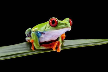 Red Eyed Tree Frog,  Agalychnis Callidryas, on a Leaf with Black Background Stockfoto