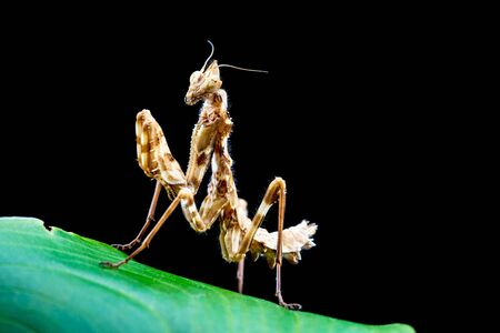 Thistle Praying Mantis, blepharopsis mendica, on a leaf with black background Zdjęcie Seryjne