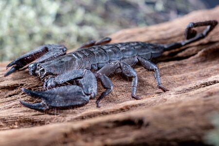 Flat Rock Scorpion, Hadogenes troglodytes, on a piece of tree bark