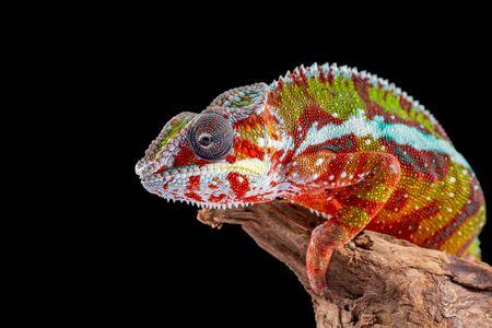 Panter Chameleon, furcifer pardalis, photographed on a plain background Stock Photo