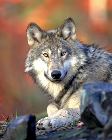 Grey wolf sit on a ground, front view