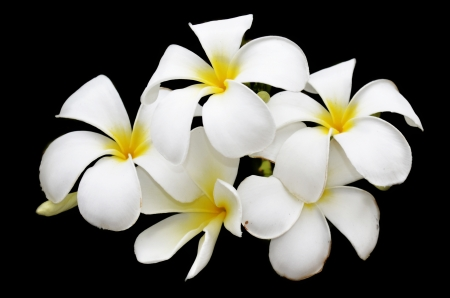 frangipani in black background