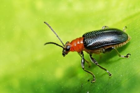 Black Beetle Banco de Imagens