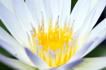 Close up lotus Stock Photo