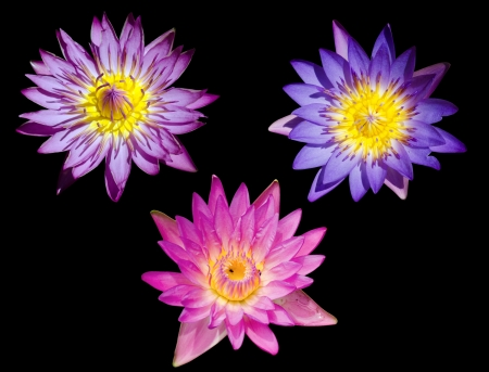 nympha: Three lotus on black background Stock Photo