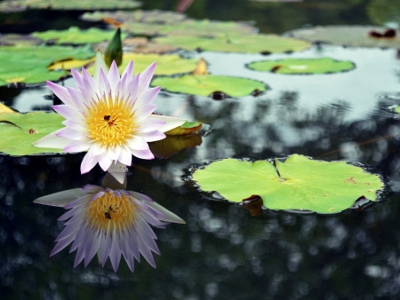 Mirror of lotus