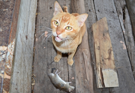 Cat hunts on a mouse