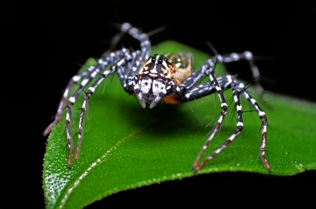 Lynx spider Oxyopes ramosus from jedkod waterfall Stock Photo