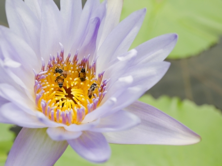 nympha: Lotus and insect Stock Photo