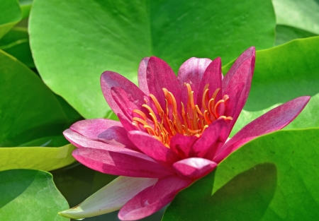 nympha: Pink lotus and shadow