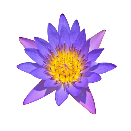 nympha: Lotus in the white background