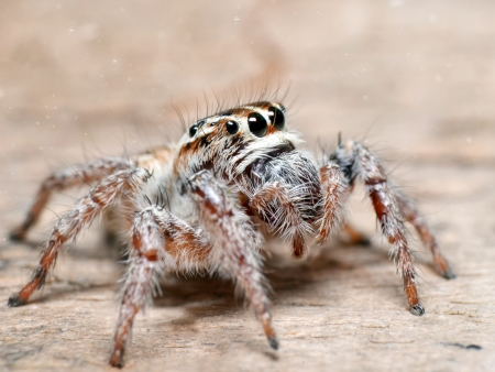 wood spider: Spider jumper on the wood background Stock Photo