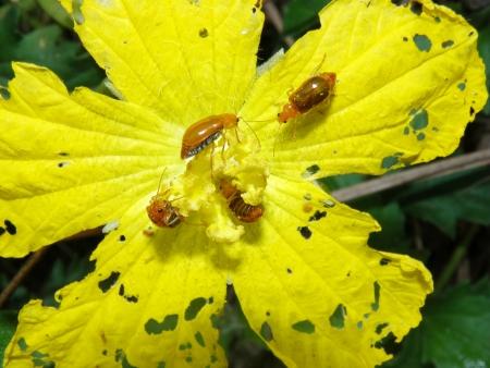 cucurbit: Cucurbit leaf beetle, Aulacophora indica Stock Photo