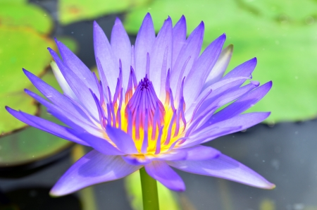 nympha: Thai Lotus