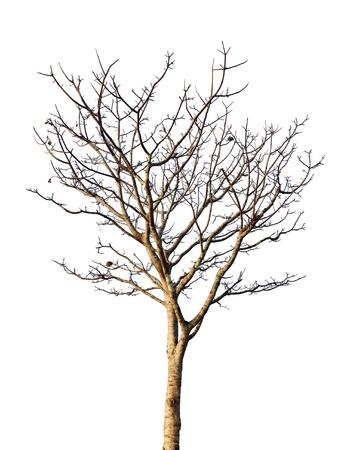 Albero morto isolato su sfondo bianco