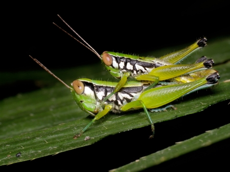 A close up of the two grasshoppers. photo