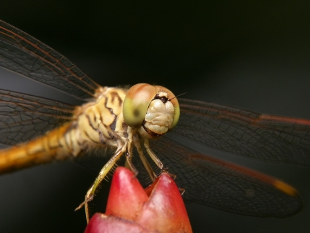 snaketail: dragon fly in nature