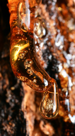 Solid amber resin drops on a tree trunk. Archivio Fotografico
