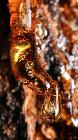 Solid amber resin drops on a tree trunk. Banco de Imagens