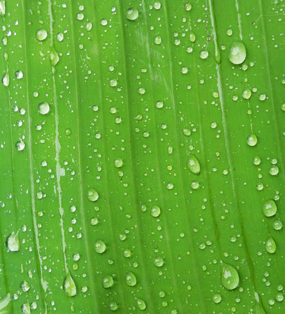 close-up green banana leaf with water drops photo