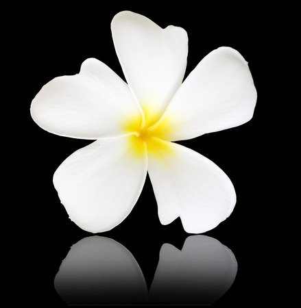 Frangipani or Plumeria flower on black background