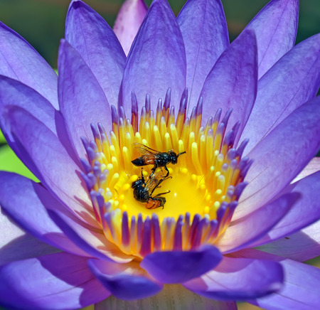 Closeup lotus pollen and insect die inside photo